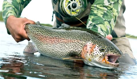 How to Catch Rainbow Trout: Fishing Like A Pro